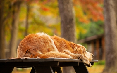 Golden Retriever sleeping on a wooden bench wallpaper