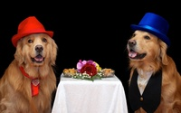 Golden Retriever wearing hats wallpaper 2560x1600 jpg