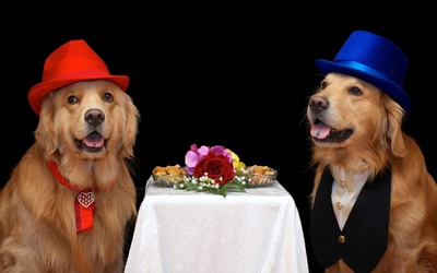 Golden Retriever wearing hats wallpaper