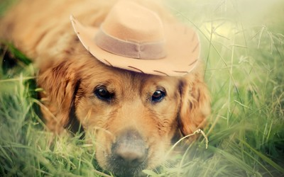 Golden retriever with a cowboy hat wallpaper