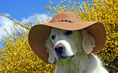 Golden Retriever with a summer hat wallpaper