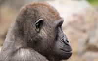 Gorilla [3] wallpaper 2560x1600 jpg