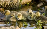Goslings wallpaper 1920x1200 jpg