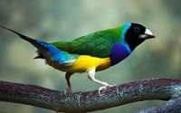 Gouldian finch wallpaper 1920x1080 jpg