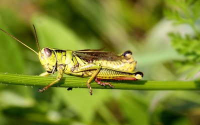 Grasshopper [2] wallpaper