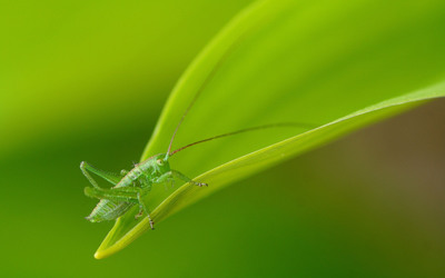 Grasshopper wallpaper