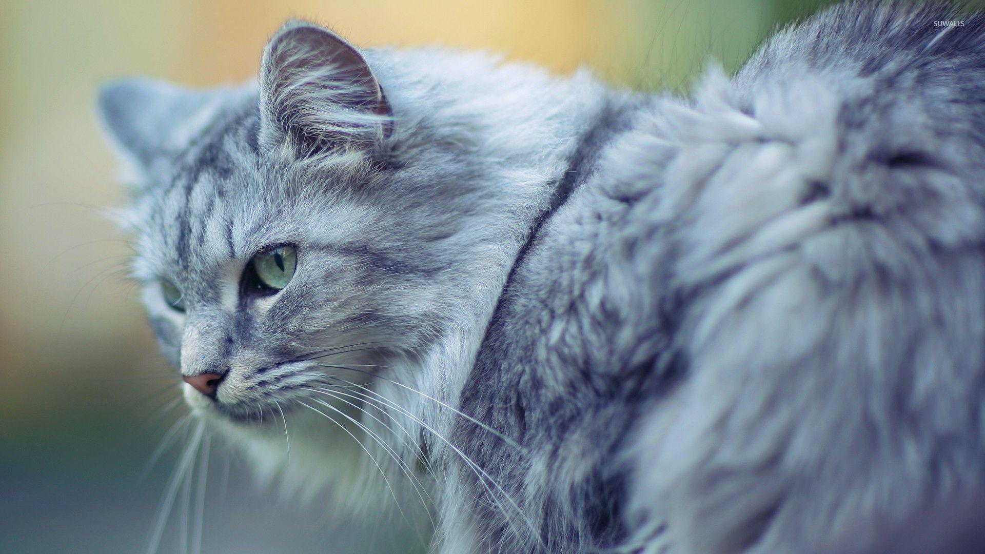 gray-cat-33401-1920x1080.jpg