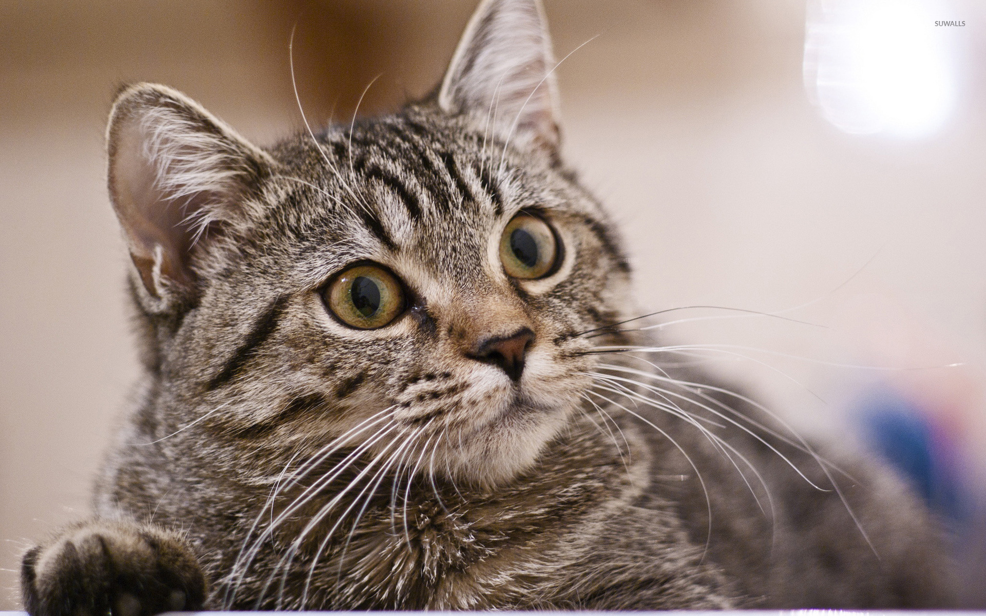 Wonderful Cat Wallpaper 1920x1200 - gray-cat-40237-1920x1200  Image_1002953 .jpg
