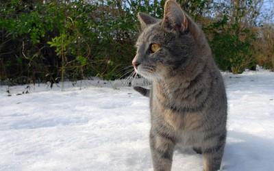 Gray cat in snow wallpaper