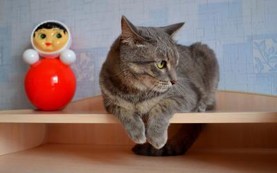 Gray cat on a shelf wallpaper
