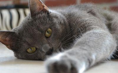 Gray cat resting wallpaper