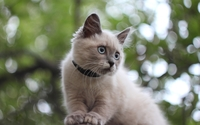 Gray cat with blue eyes wallpaper 2560x1600 jpg