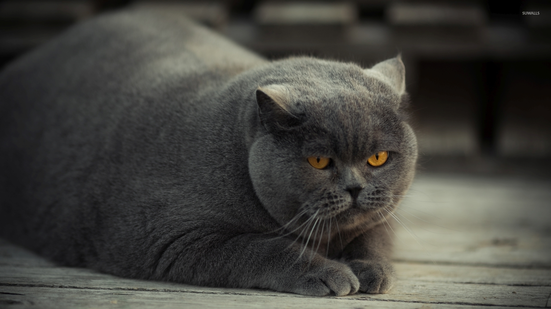 Fat Grey Cat With Blue Eyes