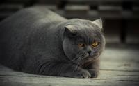 Gray fat cat with yellow eyes wallpaper 1920x1200 jpg