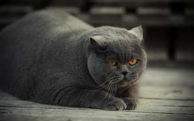 Gray fat cat with yellow eyes wallpaper