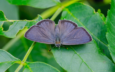 Gray hairstreak wallpaper