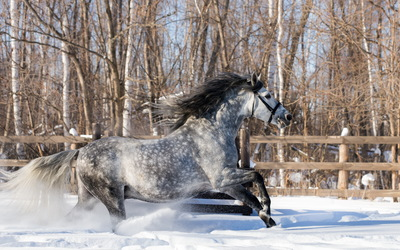 Gray horse running in the snow wallpaper