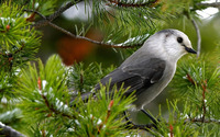 Gray Jay wallpaper 1920x1200 jpg
