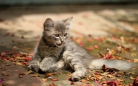 Gray kitten wallpaper 1920x1200 jpg