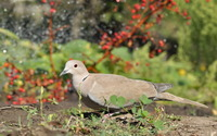 Gray pigeon wallpaper 2560x1600 jpg