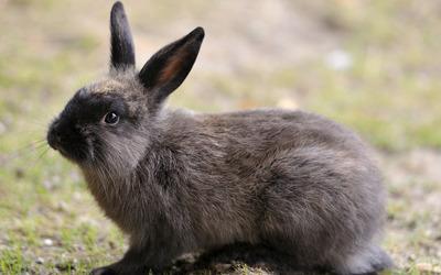 Gray rabbit wallpaper