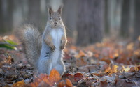 Gray squirrel wallpaper 2560x1600 jpg
