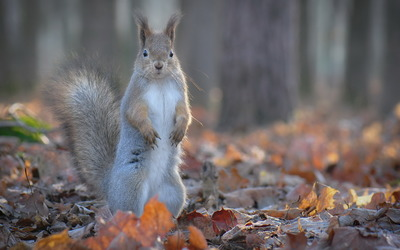 Gray squirrel wallpaper