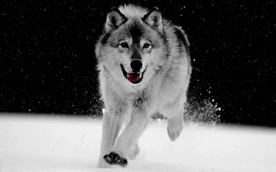 Gray Wolf wallpaper