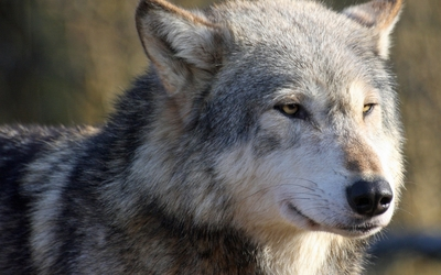 Gray wolf [7] wallpaper