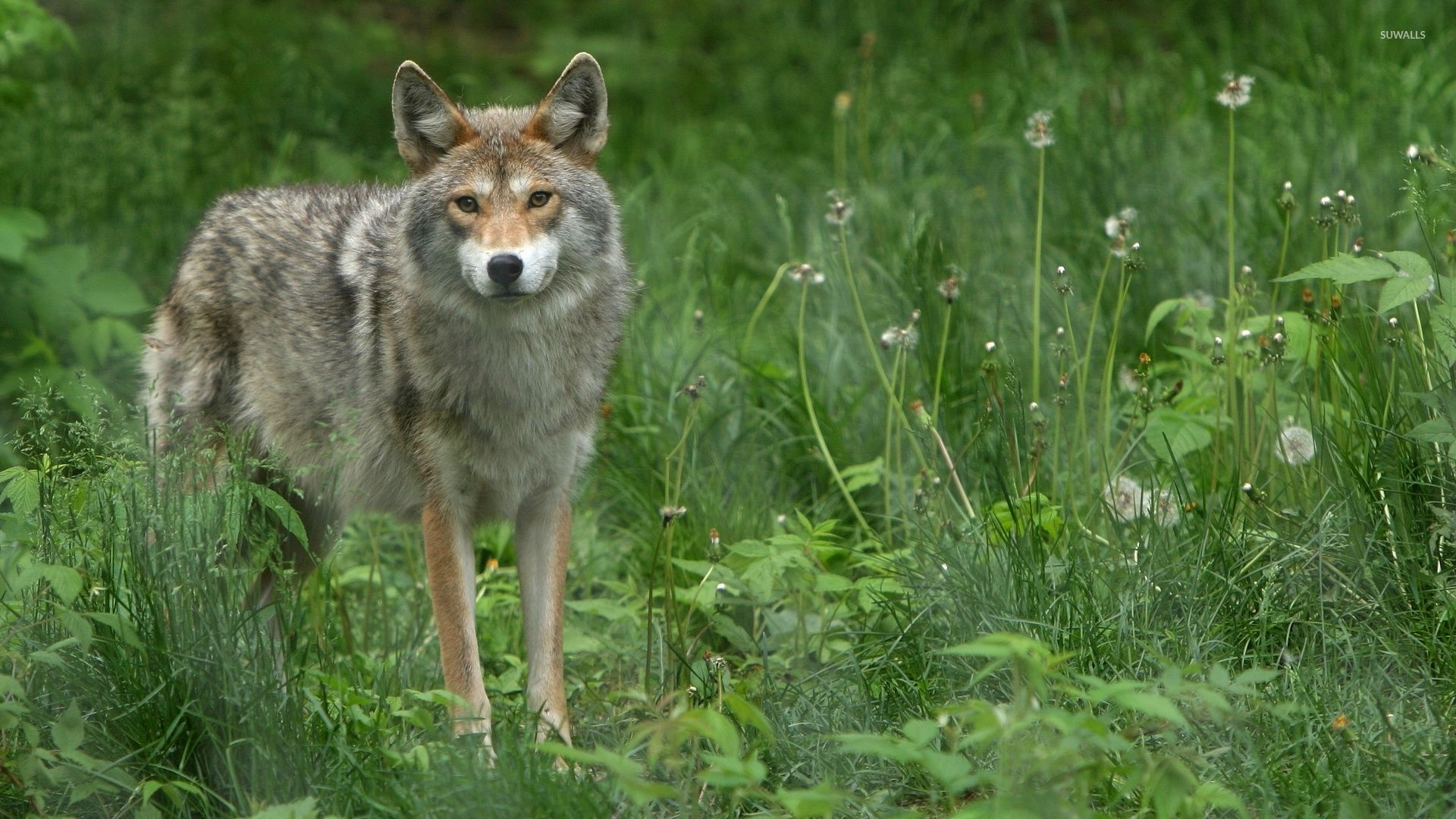 gray wolf on a green field wallpaper - animal wallpapers - #52123