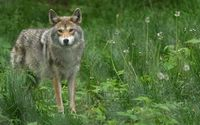 Gray wolf on a green field wallpaper 1920x1080 jpg