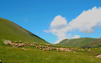 Grazing sheep wallpaper 2560x1600 jpg