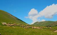 Grazing sheep wallpaper 2560x1600 jpg