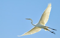Great Egret wallpaper 1920x1080 jpg