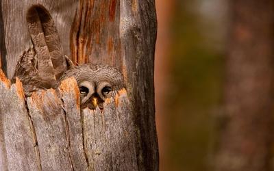 Great Gray Owl wallpaper