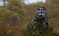 Great Gray Owl [3] wallpaper 1920x1200 jpg