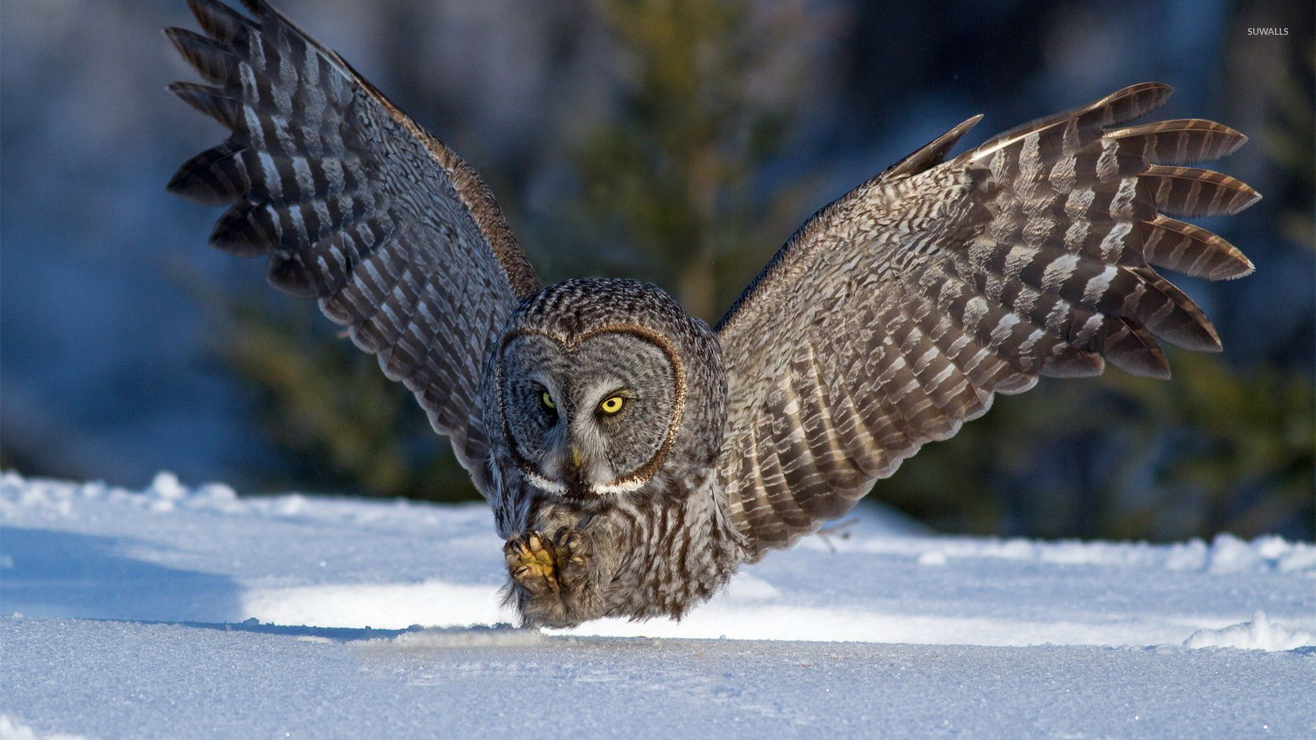 Great Gray Owl [2] wallpaper - Animal wallpapers - #46827