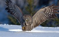 Great Gray Owl [2] wallpaper 1920x1080 jpg