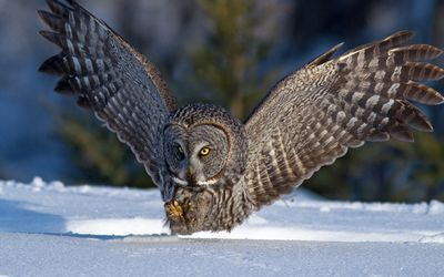 Great Gray Owl [2] wallpaper