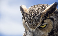 Great Horned Owl wallpaper 2560x1600 jpg