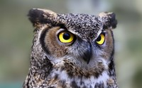 Great horned owl [2] wallpaper 1920x1200 jpg