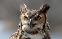 Great horned owl [3] wallpaper 2880x1800 jpg