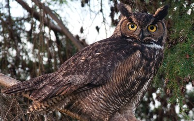 Great Horned Owl gazing from a tree wallpaper