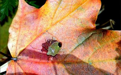 Green bug [2] wallpaper