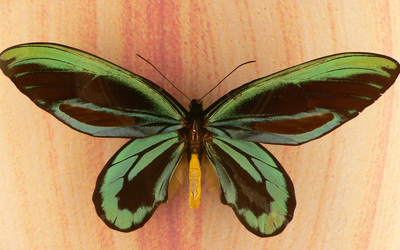 Green Butterfly wallpaper