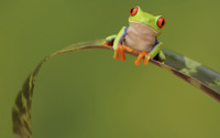 Green frog [2] wallpaper 1920x1200 jpg