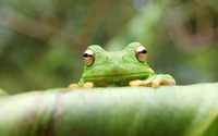 Green Frog wallpaper 1920x1200 jpg
