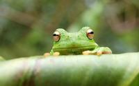 Green Frog wallpaper 1920x1200 jpg