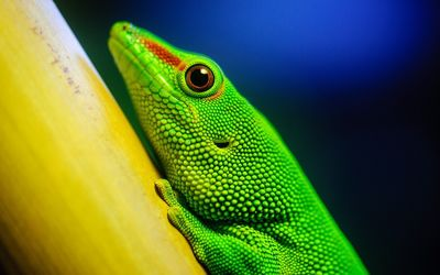 Green lizard wallpaper