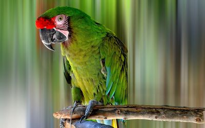 Green macaw on a tree branch wallpaper
